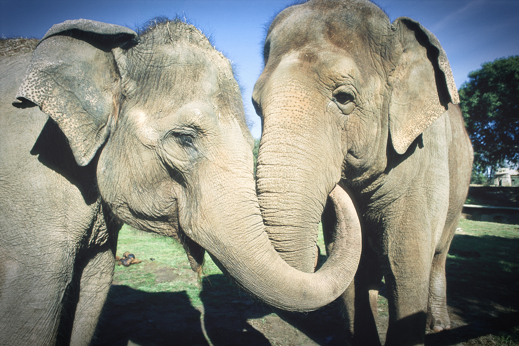 Asian Elephant (Elephas maximus) pair with entwined trunks, native to India, Asia, Thailand and Laos
